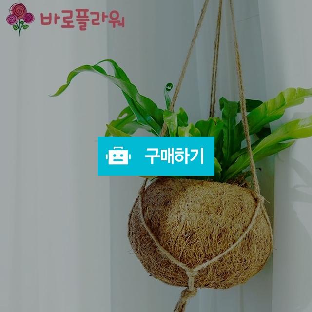 아비스고사리 반려식물 공기정화식물 미세먼지 / 바로플라워 / 디비디비 / 구매하기 / 특가할인