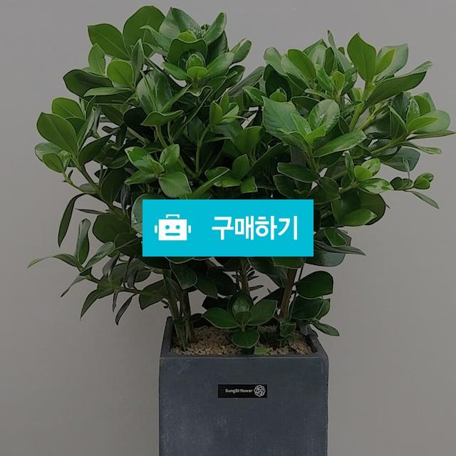 크루시아 시멘트고급분 / 식물판매장 플라워스토리 / 디비디비 / 구매하기 / 특가할인