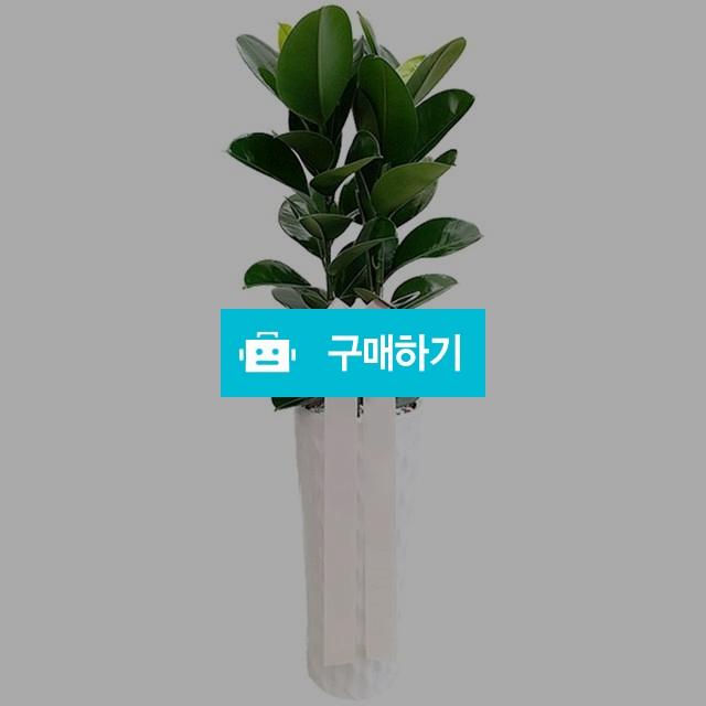 고무나무(대) 공기정화식물 개업선물 축하화분 [ba09_002] / 바로플라워 / 디비디비 / 구매하기 / 특가할인