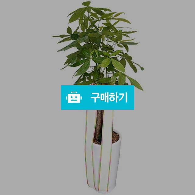 파키라 관엽식물 공기정화 개업선물 (분갈이) [ba10_003] / 바로플라워D님의 스토어 / 디비디비 / 구매하기 / 특가할인