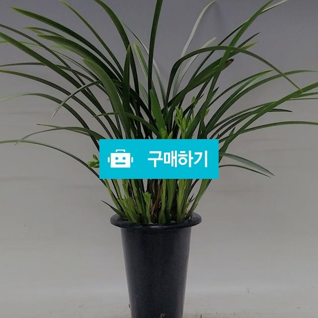 철골소심 꽃대 동양란 동양난 취미 / 식물판매장 플라워스토리 / 디비디비 / 구매하기 / 특가할인