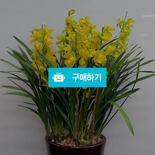 노랑 심비디움 특대형 / 식물판매장 플라워스토리 / 디비디비 / 구매하기 / 특가할인