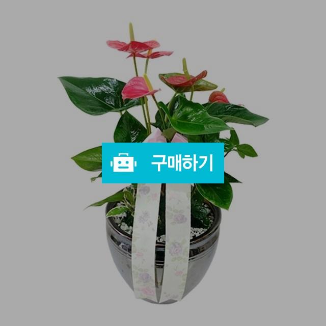 안시리움 축하화분 관엽화분 [ba10_001] / 바로플라워D님의 스토어 / 디비디비 / 구매하기 / 특가할인