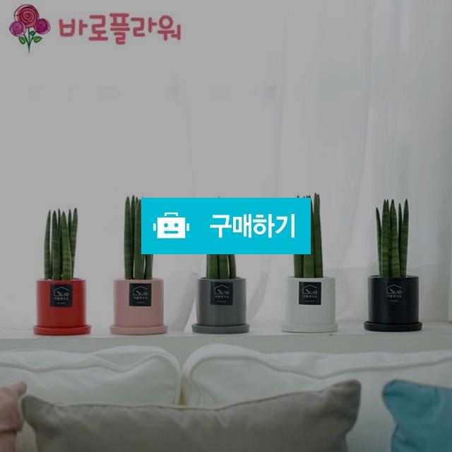 미니스투키 미세먼지 공기정화식물  / 바로플라워 / 디비디비 / 구매하기 / 특가할인
