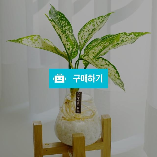 스노우사파이어 DIY SET 반려식물 공기정화식물 / 바로플라워D님의 스토어 / 디비디비 / 구매하기 / 특가할인