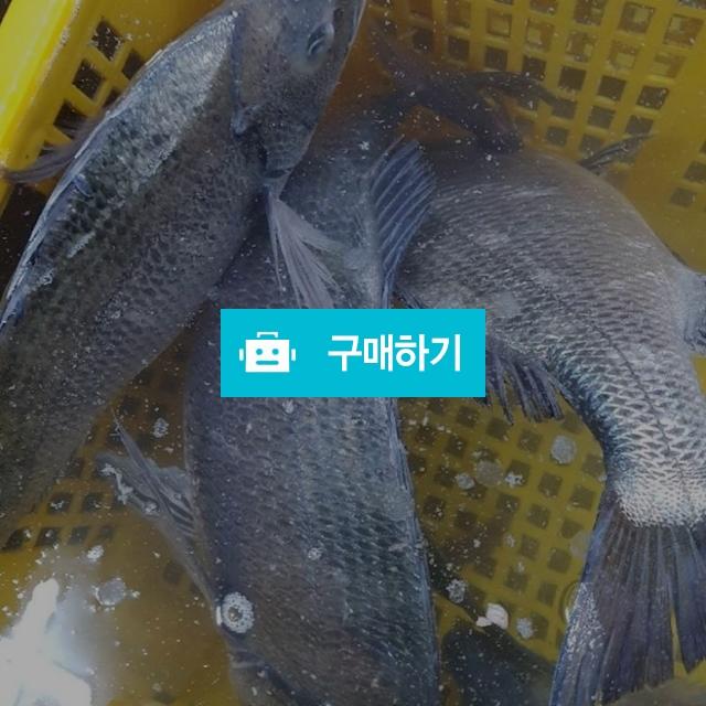 감성돔 kg당 30000~60000 / 마량태민수산(중매인7번) / 디비디비 / 구매하기 / 특가할인