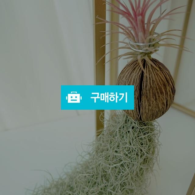 야자수염틸란드시아 반려식물 공기정화식물 / 바로플라워 / 디비디비 / 구매하기 / 특가할인